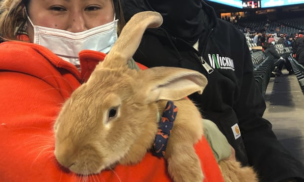 Therapy bunny at San Francisco Giants game becomes instant sensation
